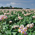 Flowering Potatoes by Adri  Padmos
