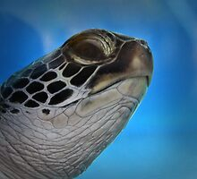 Hawaiian Honu by DJ Florek
