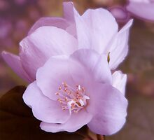 Jasmine - Blossom by newfan