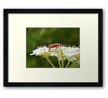 Any ideas? (Red Soldier Bee) Framed Print