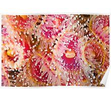 Jewel Anemonies Poster