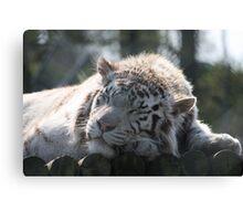 Sleeping White Tiger Canvas Print