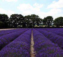 Lavender Fields, Hampshire by derekwallace