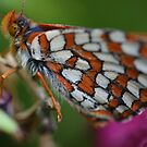 Northern Checkerspot by Susan Littlefield
