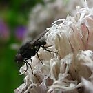 Fly on a dried chive by millymuso