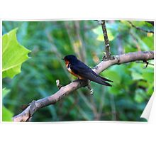 Barn Swallow on Branch Poster
