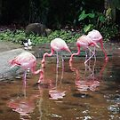 Flamingo reflections by Coloursofnature