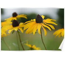 Unconventional Black-eyed Susans Poster