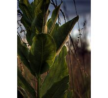 Backlit Milkweed Photographic Print