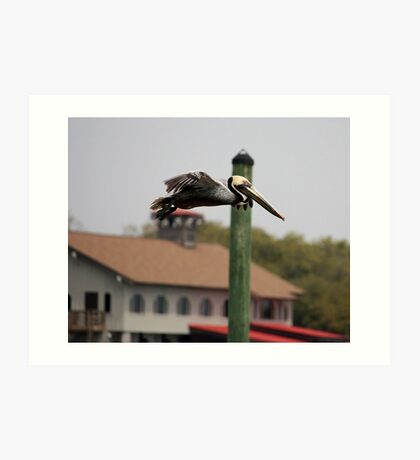Pelican flying over Murrell's Inlet Art Print