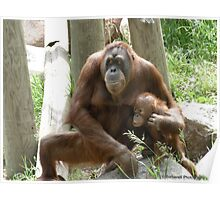 Unconditional Love - Mother and Baby Orangutan Poster