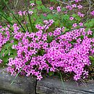Pink Wood Sorrel - Oxalis by CarolD