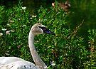 Trumpeter Swan (Cygnus buccinator) by David Carton