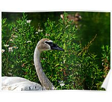 Trumpeter Swan (Cygnus buccinator) Poster