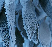 frosted gums - thredbo, nsw by Adam Smith