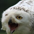 The Snowy Owl, Bubo scandiacus by DutchLumix