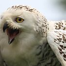 The Snowy Owl, Bubo scandiacus 2 by DutchLumix