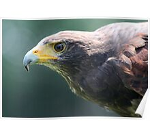 The Steppe Eagle, Aquila nipalensis Poster