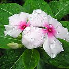 Raindrops on Vinca by CarolD
