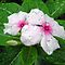 Raindrops on Vinca by Carol  DiFiori