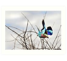 Lilac Breasted Roller - Zimbabwe Art Print