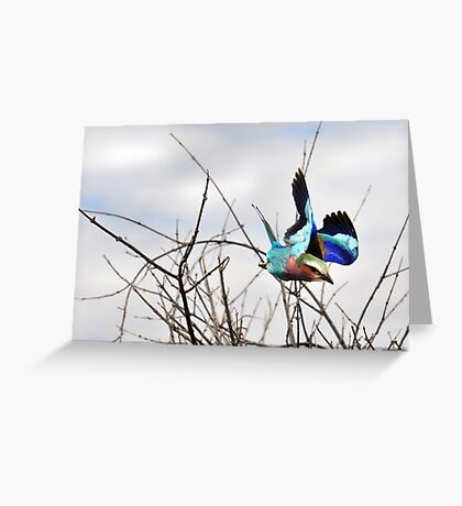 Lilac Breasted Roller - Zimbabwe Greeting Card