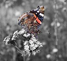 Red Admiral closed by Dave Godden