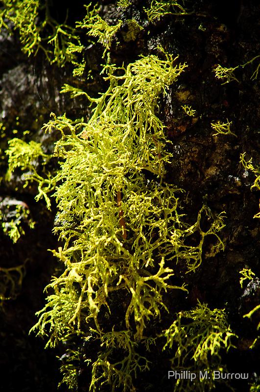 Lichen by Phillip M. Burrow