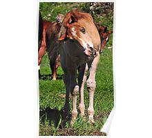 Silly Faced Foal! Poster