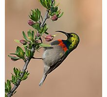 Sunbird Photographic Print