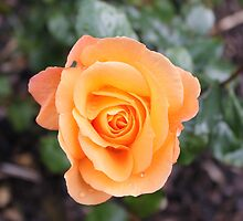 Peach Rose by erwina