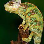 rio the chameleon by Scott Thompson