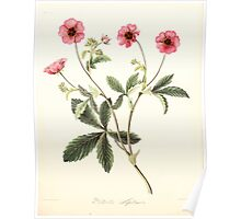 Floral illustrations of the seasons Margarate Lace Roscoe 1829 0110 Potentilla Nipatensis Poster