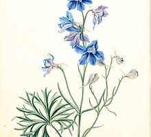 Floral illustrations of the seasons Margarate Lace Roscoe 1829 0266 Delphinium Grandiflorum by wetdryvac