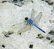 Blue Dragonfly by Caren