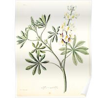 Floral illustrations of the seasons Margarate Lace Roscoe 1829 0320 Lupinus Mutabilis Poster