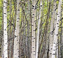 Wall of Aspen by DayColors