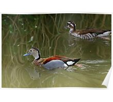 The Ringed Teal (Callonetta leucophrys) Poster