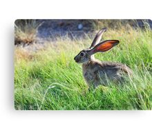 "Mr. ""Jack"" Rabbit Canvas Print"