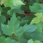 Vibrant Green Maple Leaf Background by lvitup