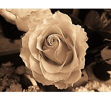 Rose In Sepia Photographic Print