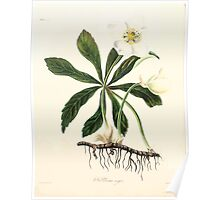 Floral illustrations of the seasons Margarate Lace Roscoe 1829 0184 Helloborus Niger Poster