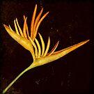 Botanica - Heliconia Psittacorum (Parakeet flower) by Sybille Sterk