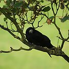 Rook in Tree by shane22
