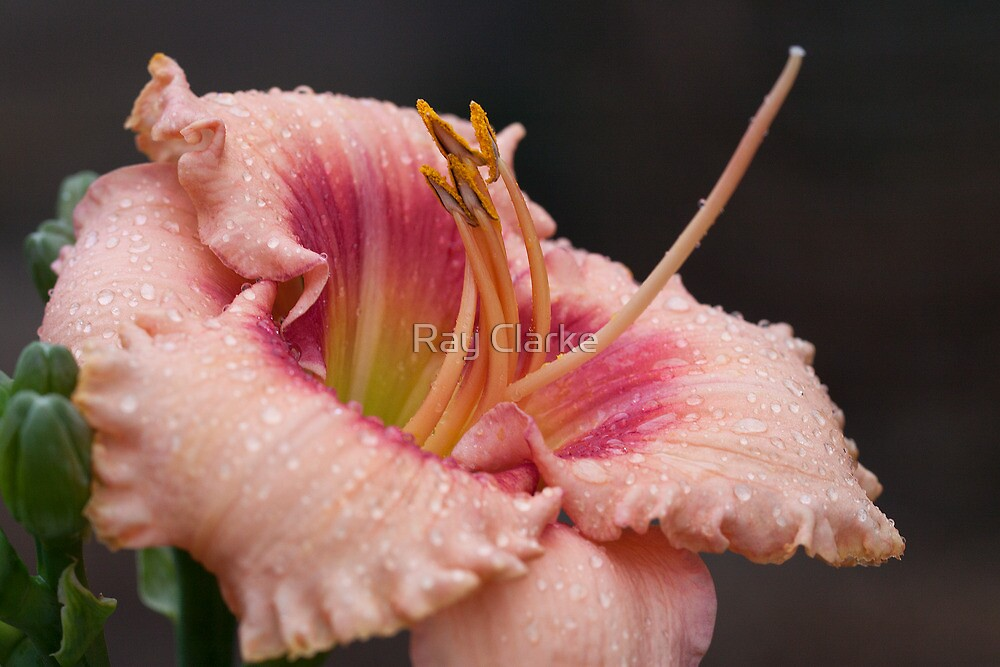 Rainy Day Lily by Ray Clarke