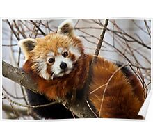 Red panda on a lazy afternoon Poster