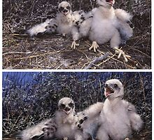 BLACK HARRIER CHICKS (Circus maurus)  (ONLY THE TOP PIC IS A  PHOTO) PLEASE READ BLURB by DilettantO