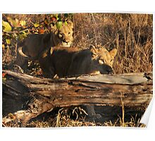 Walking With lions - Victoria Falls, Zimbabwe. Poster