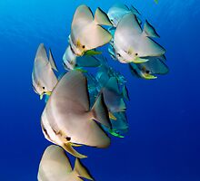 Batfish - Cocos (Keeling) Islands by Karen Willshaw