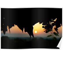 grape silhouette against a tuscan sunrise  Poster